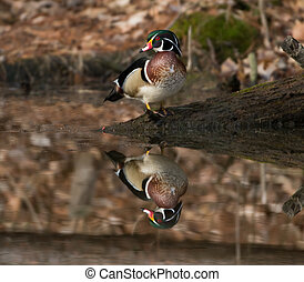 Wood duck on pond - The image of a wood duck is reflected in...