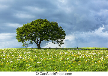 Tree with cloudy sky at the eifel - An old oak tree in the...