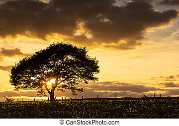 oak Tree before sunset with clouds - An old oak tree...