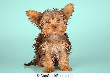 Yorkshire Terrier puppy standing in studio looking inquisitive on green background