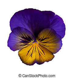 Frilly Purple Pansy - A frilly, dark purple and yellow pansy...