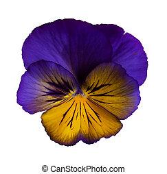 鑲褶邊, 紫色, 三色紫羅蘭