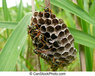 Wasps 4 - A close-up of the wasps on comb Russian Far East,...