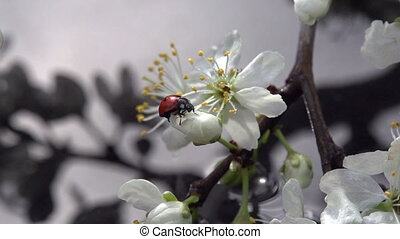 Ladybird and Spring Rain - Blossoming cherry branch bent to...