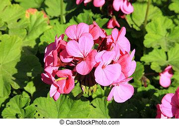 pelargonium geranium - Pink red pelargonium geranium macro...