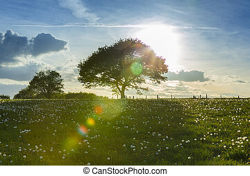 Tree at sunset at the eifel nrw - An old oak tree in the...