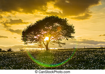 Tree before sunset with sun rays - An old oak tree in the...