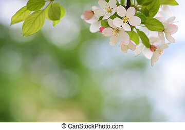 Blooming apple tree blossoms with smooth bokeh background