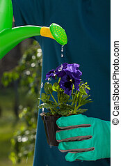 Watering pansy flower