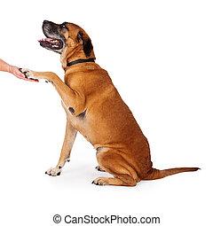 Well Trained Mastiff Dog - Mastiff dog sitting pretty and...
