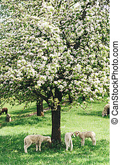 Flock of Sheep under a Tree - Flock of young Sheep under a...
