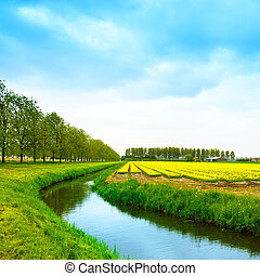 Tulip yellow blossom flowers cultivation field in spring, canal and trees. Trees on background. Keukenhof, Holland or Netherlands, Europe.