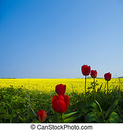 tulips and canola field - tulips in front of a beautiful...