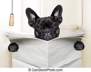 dog toilet - french bulldog sitting on toilet and reading...
