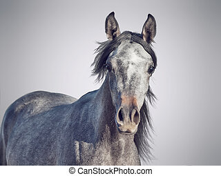 portrait of young arabian filly. isolated at gray background