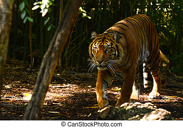 tigre,  sumatran
