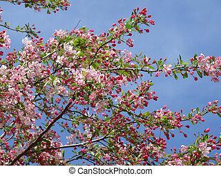 Flowering Tree - Beautiful spring flowering tree against a...