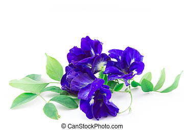 Butterfly Pea isolated