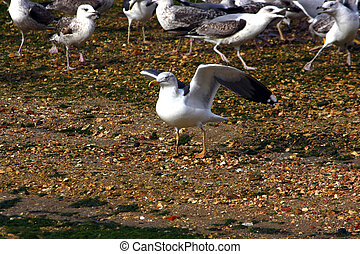 Yellow-legged Seagull - A group of seagulls, where on the...