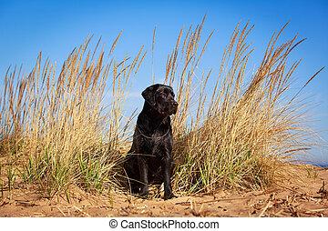 dog - black labrador retriever dog