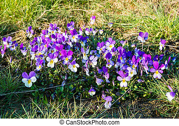 Viola tricolor, known as heartsease, heart's ease, heart's...