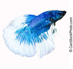 Siamese fighting fish isolated in white background. Betta...