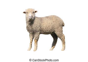 sheep, aislado