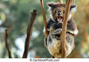 Koala yawning on an eucalyptus tree - Koala (Phascolarctos...