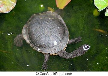 Short Neck Turtle - A close up shot of an Australian Murray...