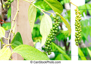 Fresh green peper - Fresh live green peper on tree