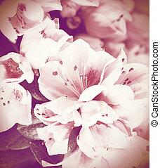 flores, azaléia, fim, cima