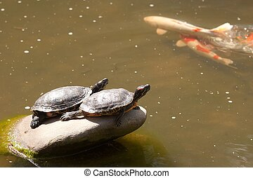 Red-Eared Slider Trachemys scripta elegans, known commonly...