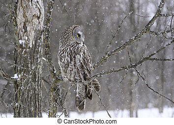 Great Grey Owl on a tree