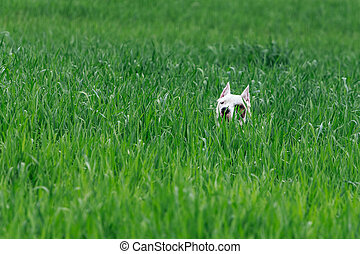 Dog hiding in the bush, hunting dogo argentino.