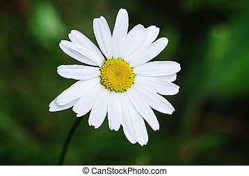 chamomile over green - chamomile flower over green...