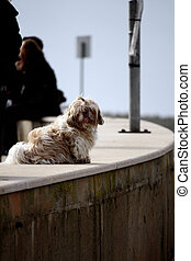 Small pet dog - Small long haired pet dog looking at the...