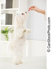 Maltese dog - Portrait Maltese dog standing on two legs with...