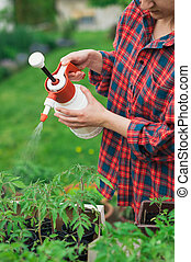Tomato seedlings - Gardener spraying tomato seedlings with...