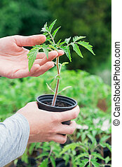 Tomato seedling - Hand holding pot with tomato seedling