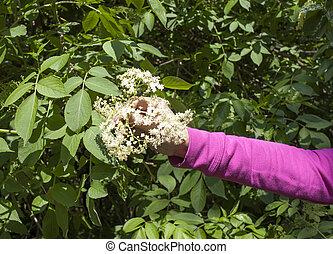 Picking elder blossoms