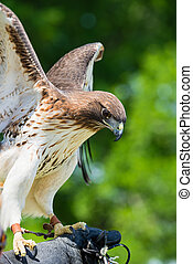 Red-tailed Hawk (Buteo jamaicensis) wings open, against...