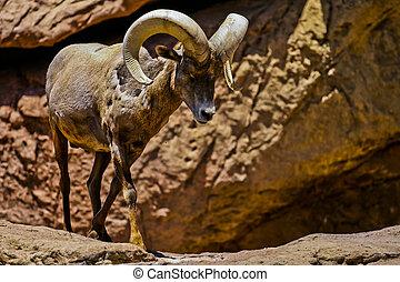 desierto, grande, cuerno, Sheep, desierto