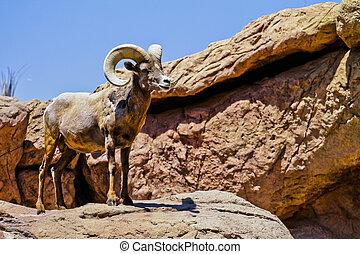 sheep, grande, desierto, desierto, cuerno