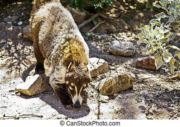 Desert Coati