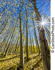 Autumn colots in aspen trees with a sun star - Sun star in a...