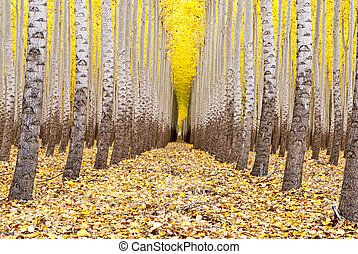 Farm of trees all in a row fall - Tree farm rows in autum