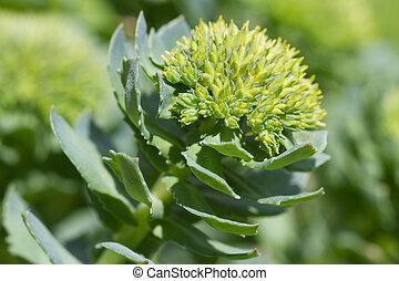 medicinal plant Rhodiola rosea closeup outdoors