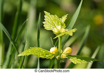 Deadnettle blooming closeup horizontal - Deadnettle blooming...
