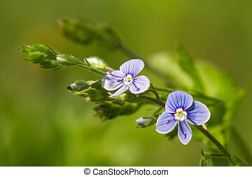 bonito,  floral, flores, fundo,  Veronica