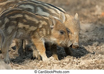 Boars - Baby wild boars playing in the mud